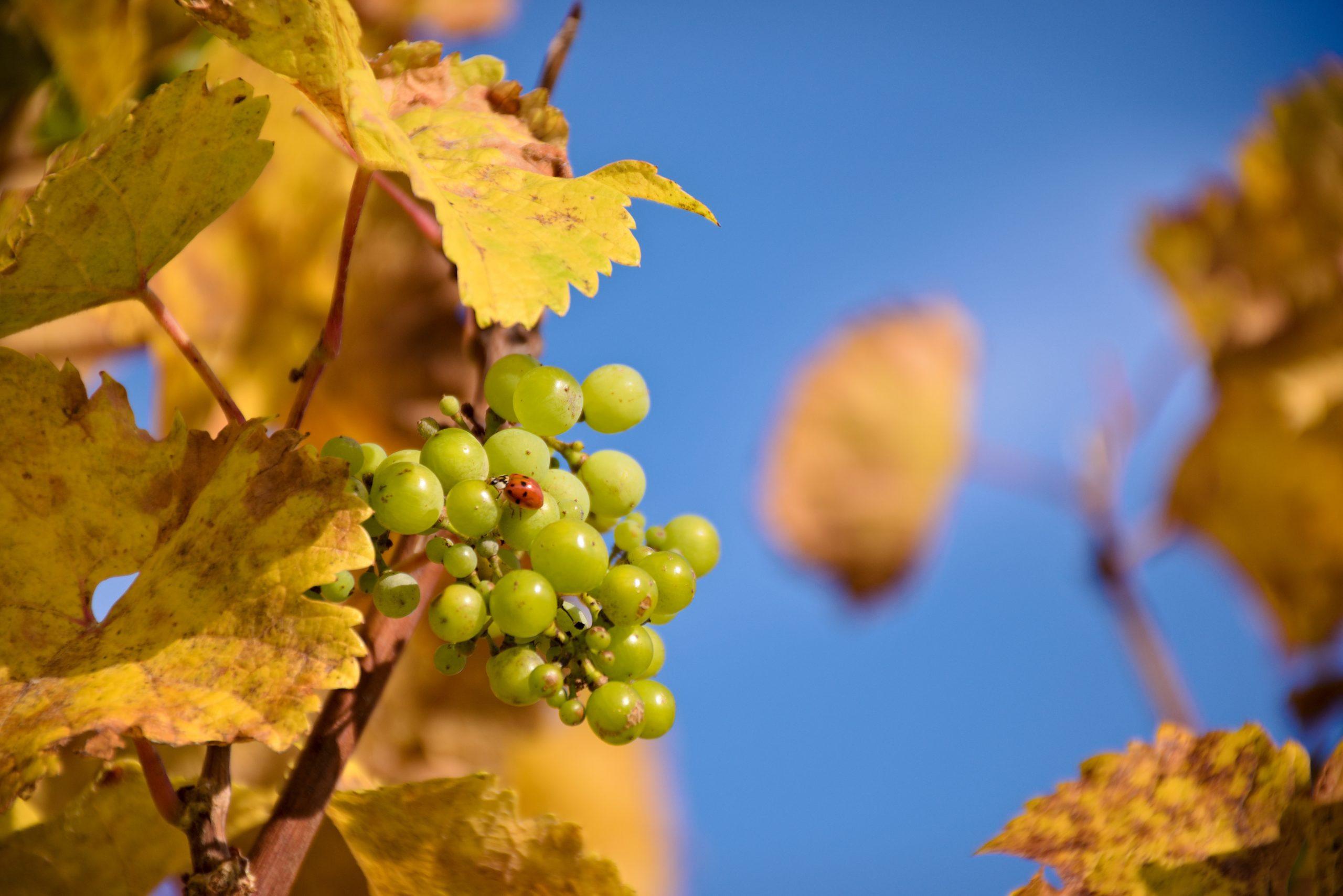 racimo uvas 5